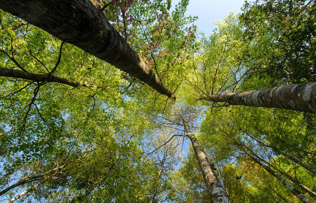 緑が茂った木々をしたから眺めている写真