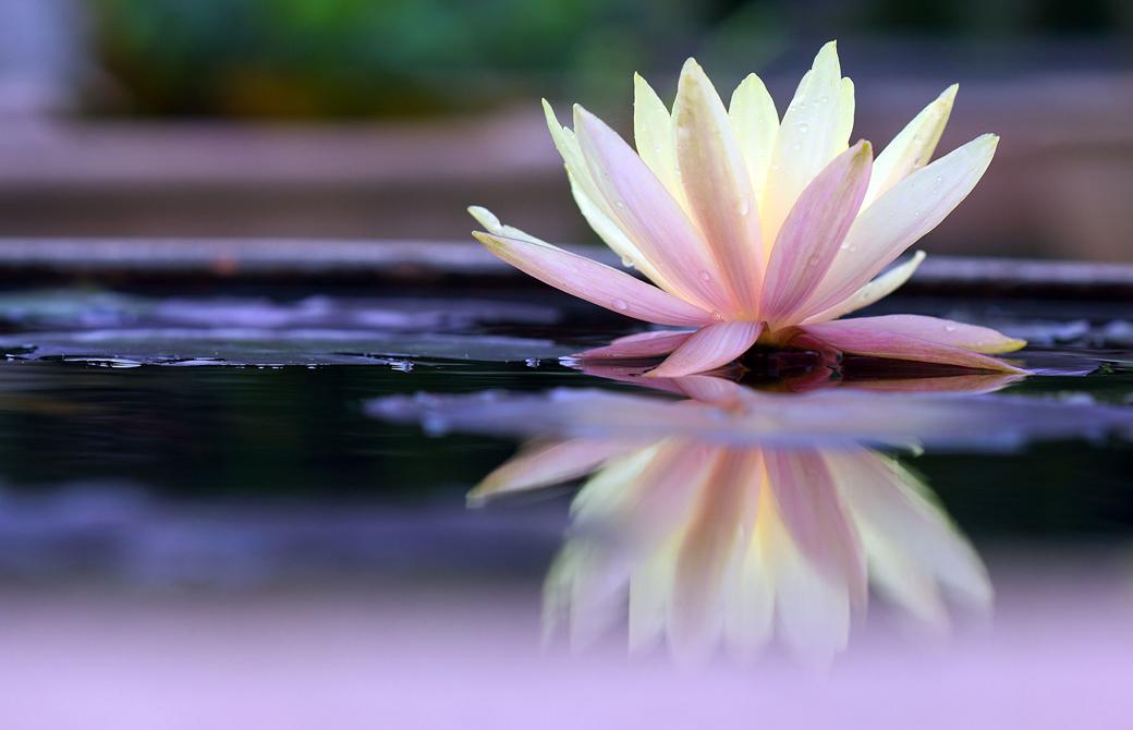池で白く綺麗に咲く蓮の花