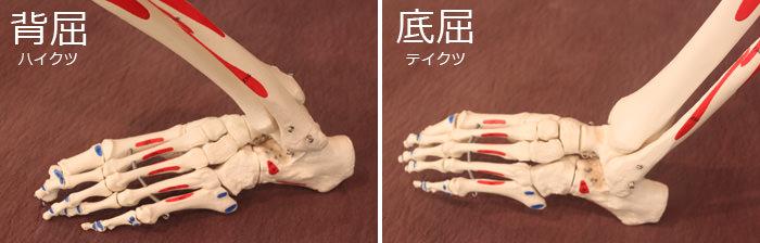 足の骨の模型写真