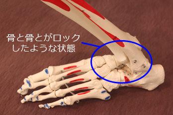 足首と足指の骨模型