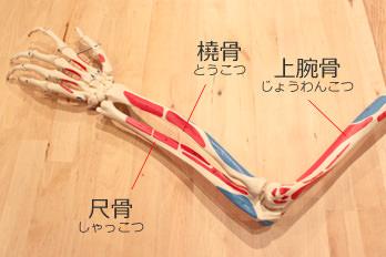 肘関節を構成する骨模型