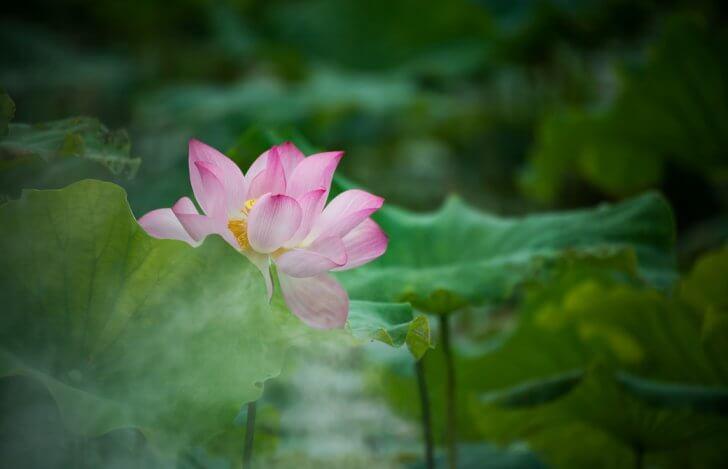 ピンク色の蓮の花と大きな葉