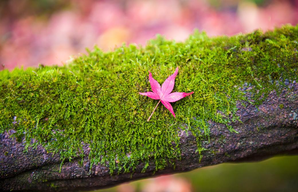 木の苔の上の綺麗なもみじ