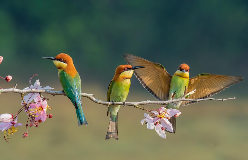 カラフルな3羽の鳥が桜の木の枝にとまっている