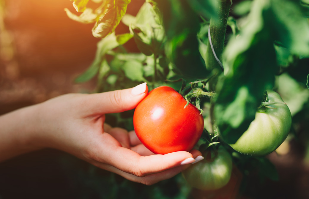 真っ赤に熟したトマトと持つ女性の手