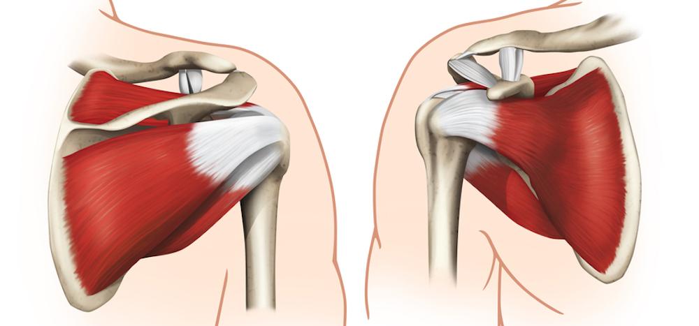 肩甲骨の解剖図