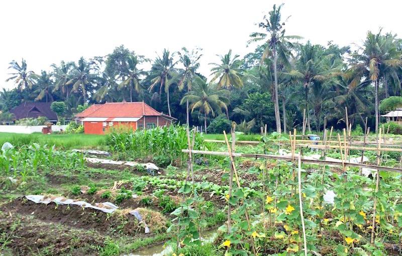 バリ島の畑の風景