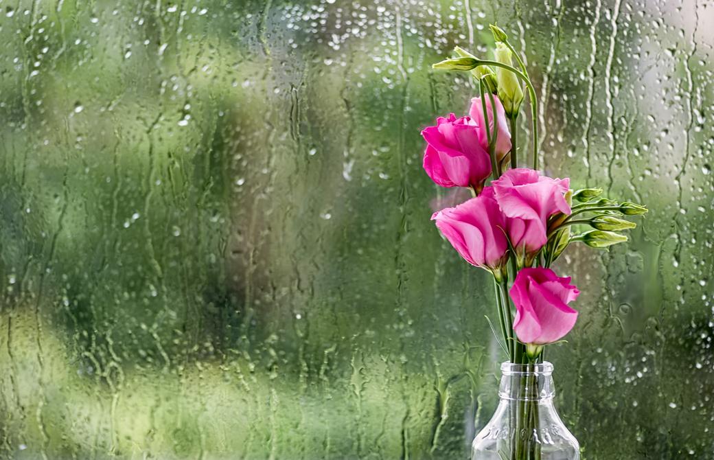 雨の降る窓際にあるピンクのバラ