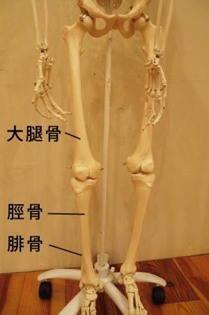 大腿骨模型