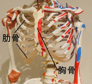肋骨と胸骨の模型