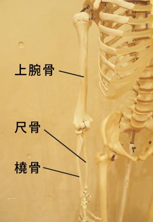 腕の骨模型
