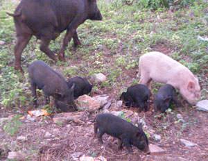 インドの路上にいる豚