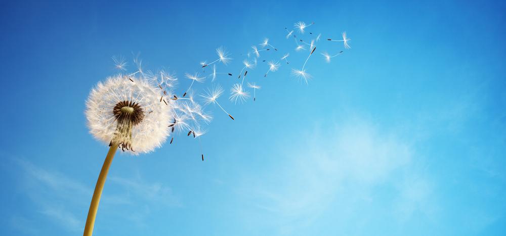 タンポポの綿毛が飛んでいく