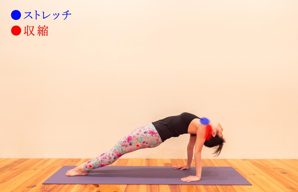 プルボッタ―サナ(上向きの板のポーズ)における三角筋の収縮とストレッチ