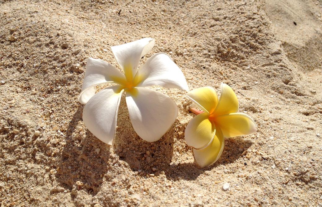 砂浜に置かれたプルメリア