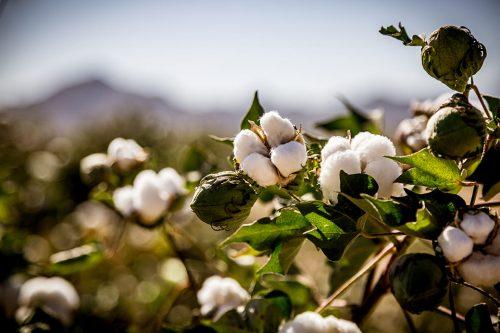 オーガニック綿の綿花畑