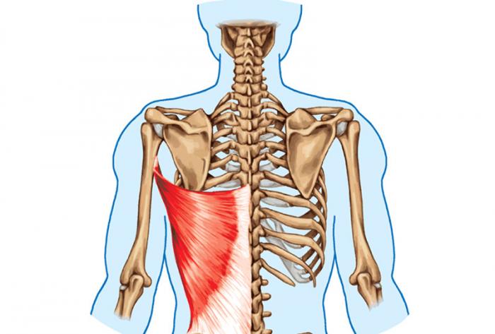 背中の骨と筋肉のイラスト