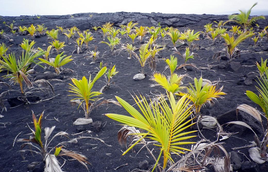 mahokoのブログ ハワイ島でたくましく育つココナツ