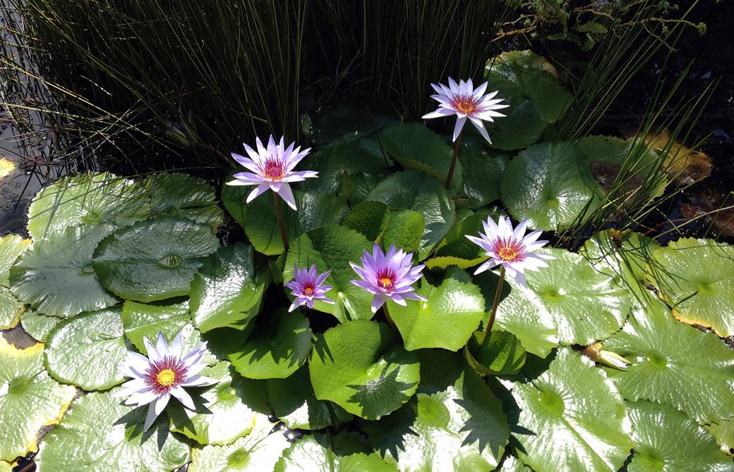 池に浮かぶ紫の蓮の花と蓮の葉
