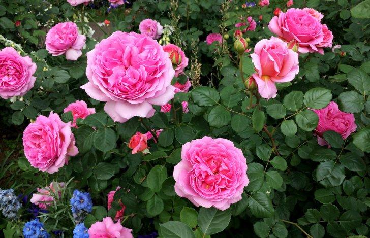 Mahokoのブログ 綺麗なピンクのバラ