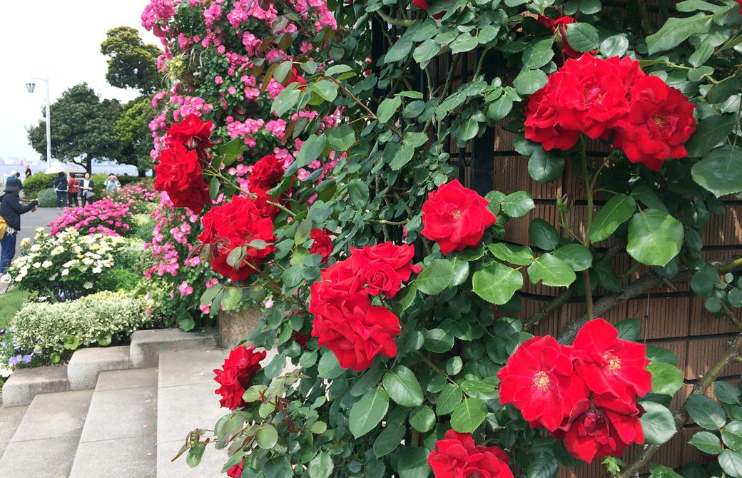 mahokoのブログ 山下公園のバラ