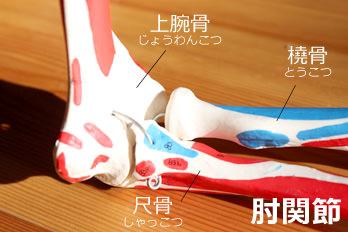 肘関節の骨模型