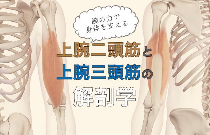 上腕二頭筋・上腕三頭筋の解剖学:腕の力で身体を支えるアサナを極めよう