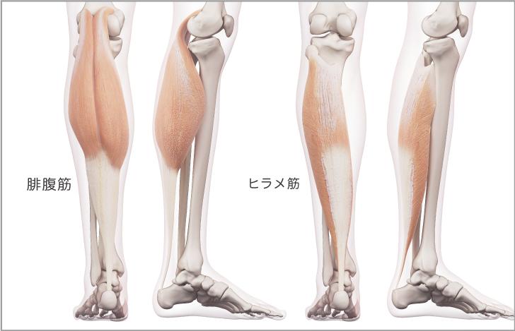 下腿三頭筋の基礎知識