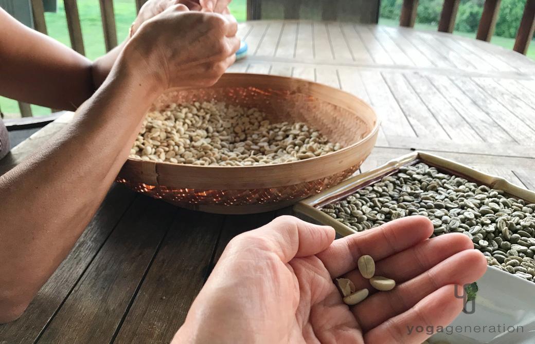 コーヒー豆を摘んで焙煎の準備