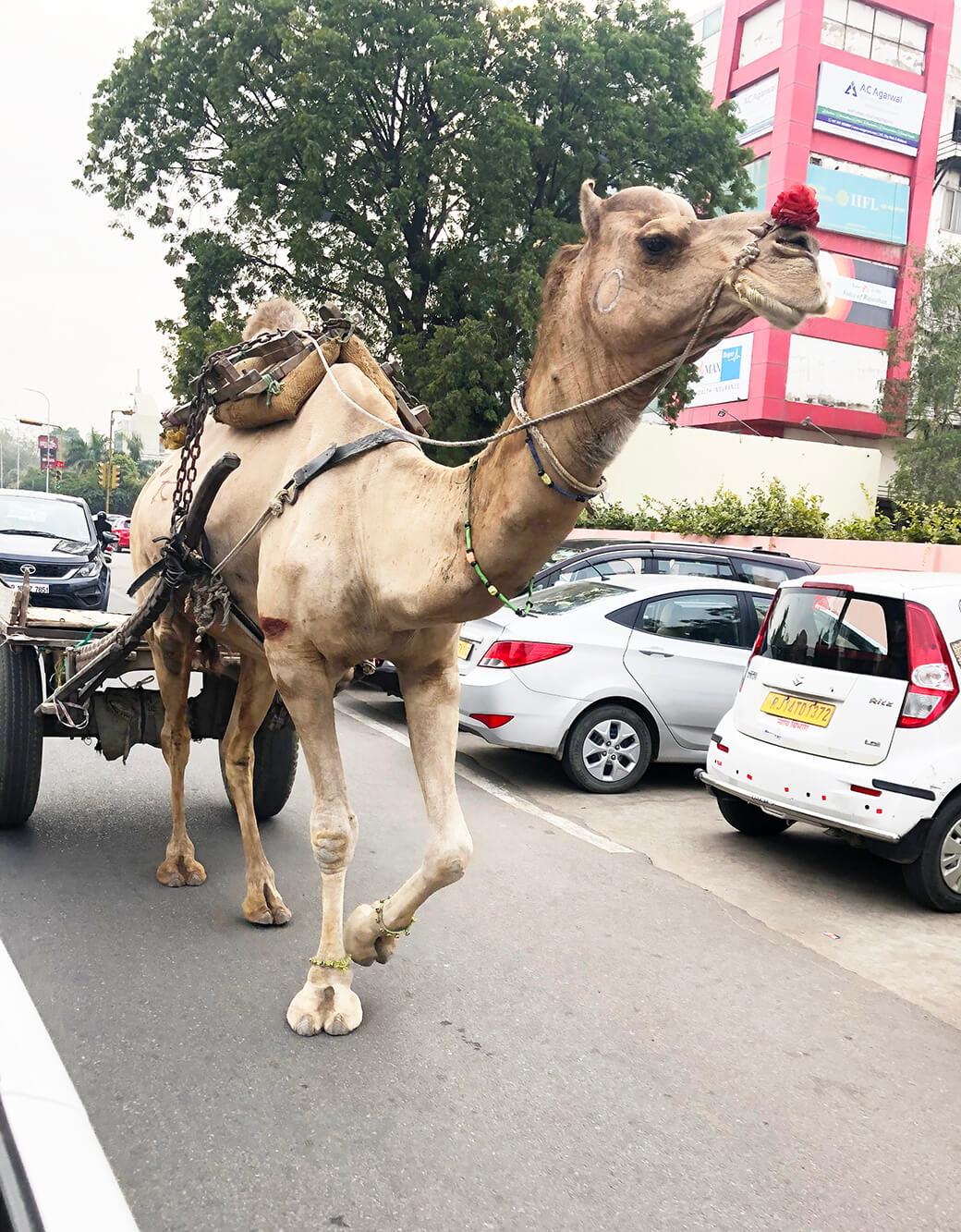 ジャイプールの街で出会ったラクダ