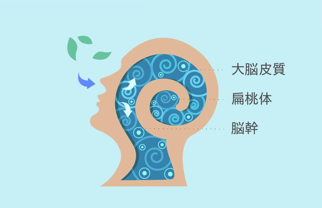 呼吸と脳のつながり