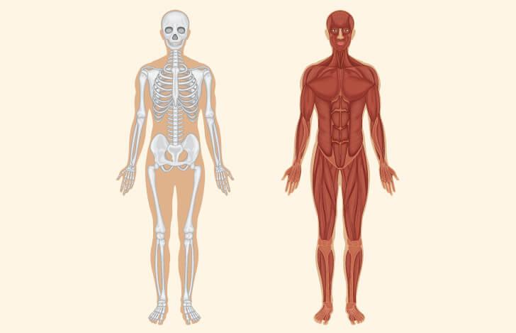 骨格と筋肉の2つの解剖図